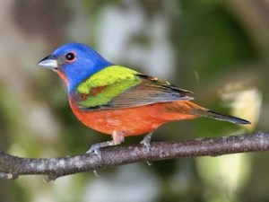 painted_bunting_dannybales4