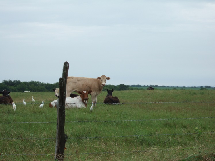 cattle-with-egrets