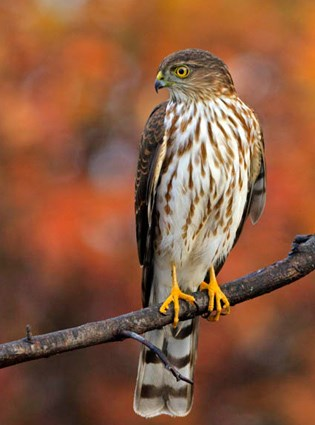 sharp_shinned_hawk_15