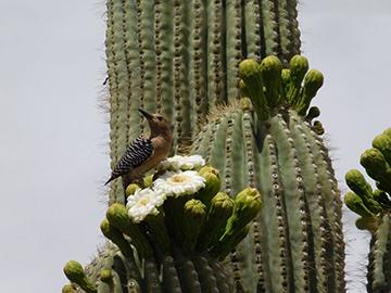 gilawoodpecker