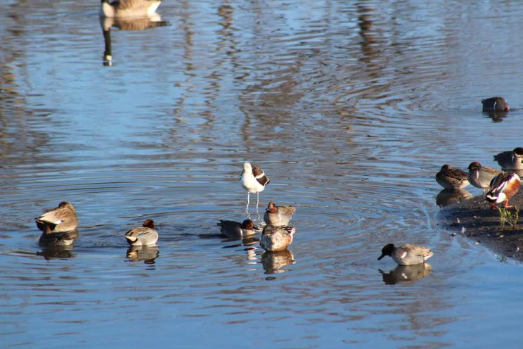 American avocet and green-winged teal