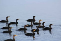 a flotilla of doublecrested cormorants
