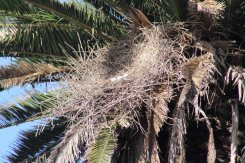 deserted great blue heron nest--tipped over too far to successfully incubate the eggs