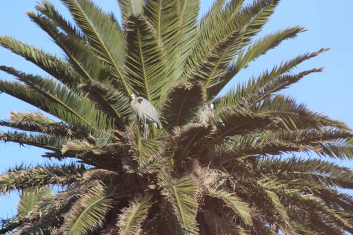 herons nesting in a palm tree
