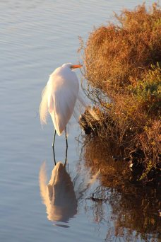 great egret at sunrise