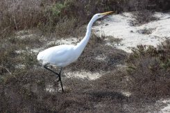 great egret stalking lizards