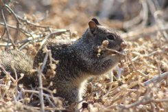ground squirrel (yes, I know he's not a bird)