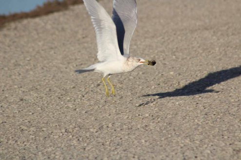 juvenile ring-billed gull eating brunch