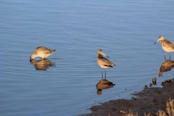 more marbled godwits