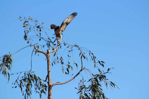 redtailed hawk annoyed at a kestrel out of shot