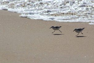 the sanderlings at the Beach that I desperately wanted to be snowy plovers