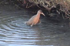 Virginia rail bathing