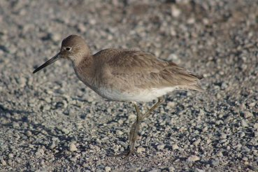 This is a willet
