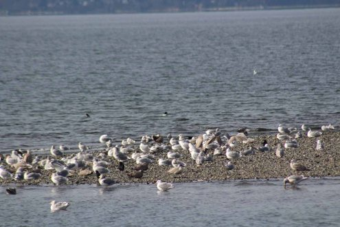 a pile of gulls on a sandbar plus a few crows