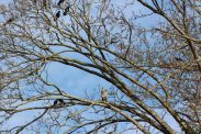 great blue heron in a tree surrounded by crows
