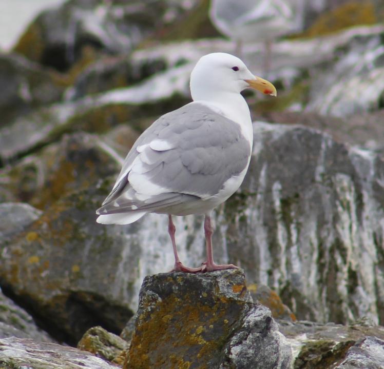 glaucouswingedgull