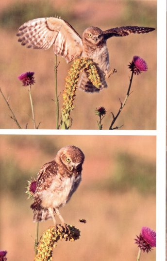 palmer burrowing owls2